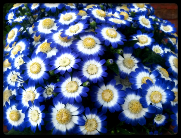 Blue Cinerarias1