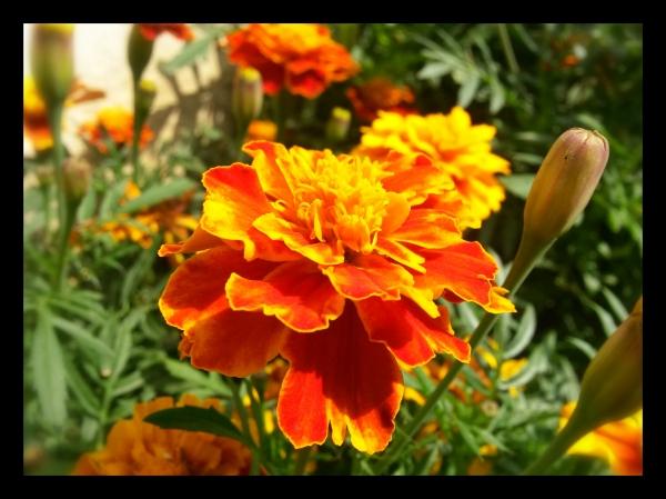 Marigold14